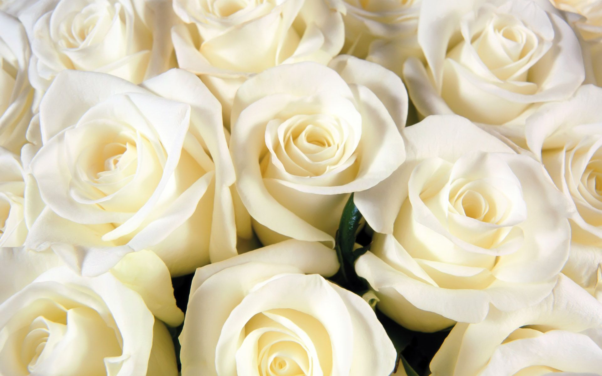 Funeral_white_roses